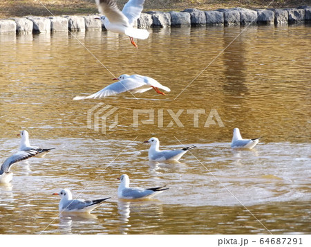 inage海浜公園に来た冬の渡り鳥ユリカモメ 64687291