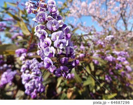 小さい欄の様に綺麗な青い花はルーデンベルギアの花 64687296