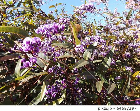 小さい欄の様に綺麗な青い花はルーデンベルギアの花 64687297