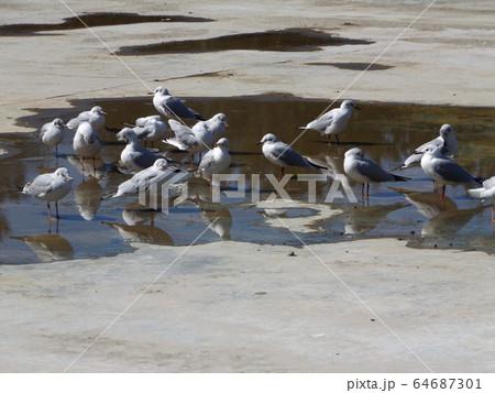 inage海浜公園に来た冬の渡り鳥ユリカモメ 64687301