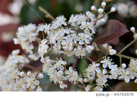 ベニカナメモチの花 レッドロビン 64703070