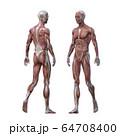 男性 解剖 筋肉 3DCGイラスト素材 64708400