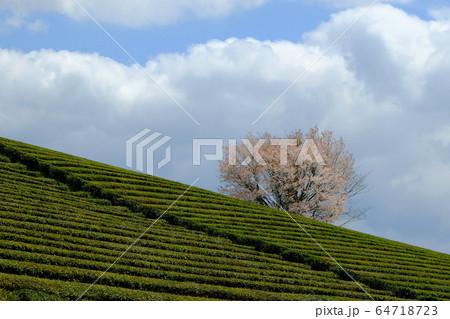 茶畑と一本桜(奈良県奈良市都祁) 64718723