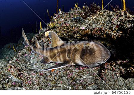 眠るネコザメ 64750159
