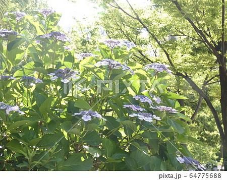 紫陽花-神戸・東遊園地 64775688