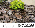 Tree bark for decoration and mulching in landscape design. Tree bark texture background closeup. 64786866