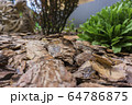 Tree bark for decoration and mulching in landscape design. Tree bark texture background closeup. 64786875