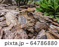 Tree bark for decoration and mulching in landscape design. Tree bark texture background closeup. 64786880