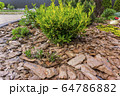 Tree bark for decoration and mulching in landscape design. Tree bark texture background closeup. 64786882