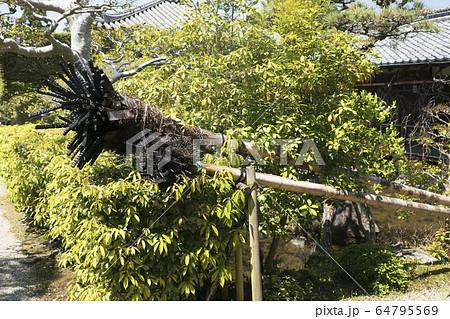 東大寺二月堂お水取りに使われる松明の燃えカス 64795569