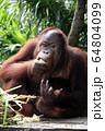 食事中のオラウータン 64804099