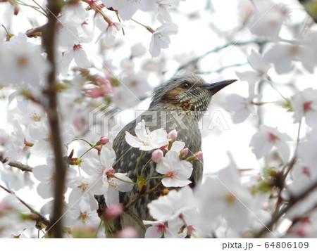 桜の木に留まったヒヨドリ(嘴に花粉) 64806109