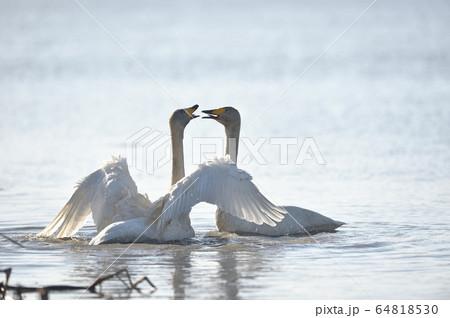 湖面で鳴き交わすオオハクチョウ(北海道) 64818530