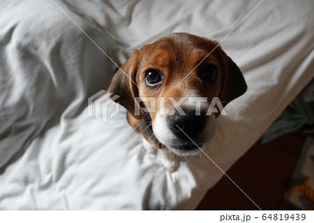 ビーグル 室内犬 中型犬 子犬 パピー 犬 64819439
