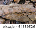 Tree bark for decoration and mulching in landscape design. Tree bark texture macro background close-up. 64839526