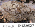 Tree bark for decoration and mulching in landscape design. Tree bark texture macro background close-up. 64839527