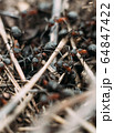 Ant army and society, teamwork. Red ant Formica rufa moving in anthill, social insects, labour division. Marco, many insects as ant background. 64847422