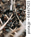 Ant army and society, teamwork. Red ant Formica rufa moving in anthill, social insects, labour division. Marco, many insects as ant background. 64847425