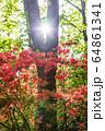 ヤマツツジと太陽 64861341