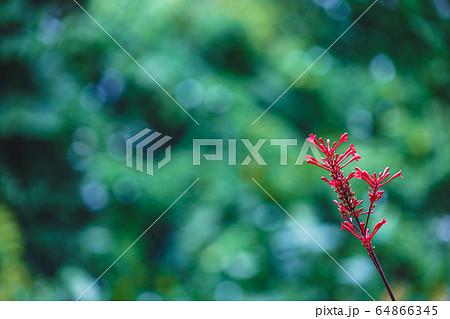 (ハワイ)アカカ・フォールズ州立公園の花 64866345