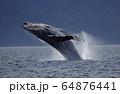 ザトウクジラのブリーチ 64876441
