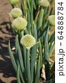 ネギ坊主(ネギの花) 64888784