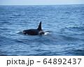 知床の海を泳ぐシャチ(北海道・羅臼) 64892437