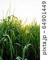 朝日と朝露のついた青草の逆光 64901449
