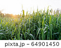 朝日と朝露のついた青草の逆光 64901450
