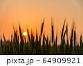 夕陽を背景にした麦畑 64909921