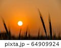 夕陽を背景にした麦畑 64909924