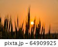 夕陽を背景にした麦畑 64909925