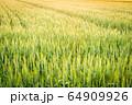 夕日に照らされた麦畑 64909926