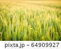 夕日に照らされた麦畑 64909927