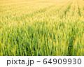 夕日に照らされた麦畑 64909930
