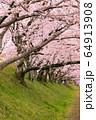 藤原宮跡の桜並木(奈良県橿原市) 64913908