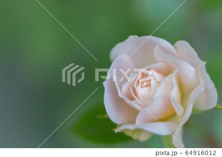 ひっそりと咲くバラ 64916012