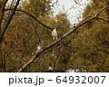 オオタカ 大鷹 64932007