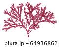 海藻 紅藻類 ベクター素材 トサカ 64936862