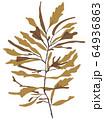 海藻  褐藻類 ベクター素材 アカモク 64936863