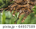 Tree bark for decoration and mulching in landscape design. Tree bark texture macro background close-up. 64937589
