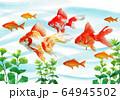 水彩で描いた泳ぐ金魚 64945502