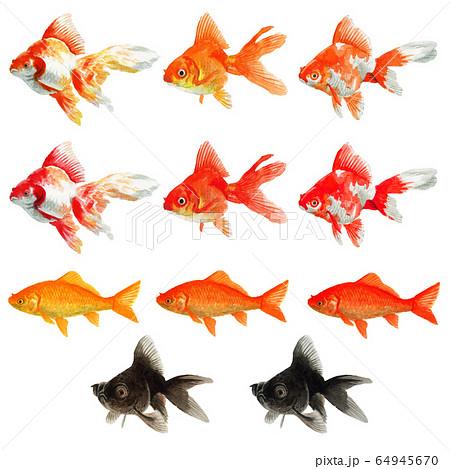 水彩で描いたいろいろな金魚 64945670