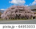 奈良 天理教教会本部のしだれ桜 64953033