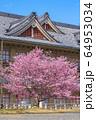 奈良 天理教教会本部の桜 64953034