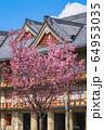 奈良 天理教教会本部の桜 64953035