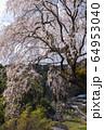 奈良 満願寺 八講桜 64953040