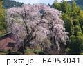 奈良 満願寺 八講桜 64953041