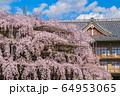 奈良 天理教教会本部のしだれ桜 64953065