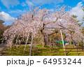 京都 円山公園のしだれ桜 64953244
